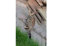 Pure BENGALS girls and boys for sale