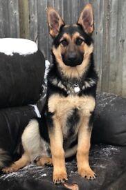 My beautiful German shepherd pup for sale