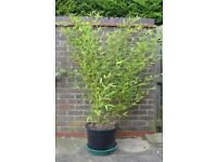 Golden bamboo plant in a large pot, 1.6 metres high