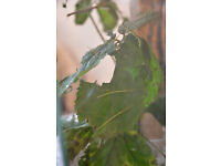 x5 Young Stick Insects