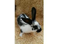 English spot 8 week buck rabbit