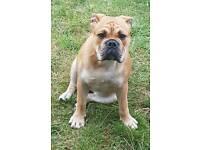 Britsh bulldog x old tyme