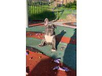Adorable Blue French Bulldog Puppy Boy KC reg READY to leave