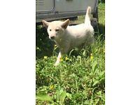 German shepherd pups for sale