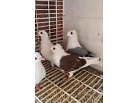 4x Fancy pigeons £35