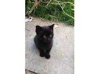 Cute Male kitten 9 weeks old Black