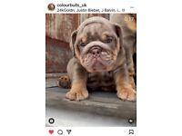 9 week old Lilac tri English bulldog male