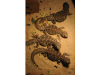 Plant eater ocellated uromastyx lizard youngsters