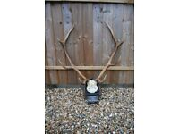 Pair of Antique Vintage Taxidermy Red Fallow Sika Deer Stag Antlers Skull Hunting Trophy