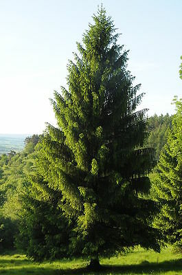 Norway Spruce, Picea abies, Tree Seeds (Fast ...