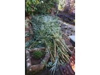 Free Willow cuttings-Build a Den or a Fence. 30+ cuttings up to 8 ft long.