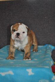 Bulldog Puppies- ready October, KC Registered
