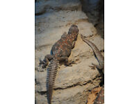 Plant Eater Ocellated Uromastyx Lizards (females)