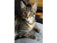Missing Tabby Male Cat