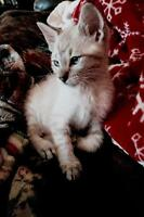Spotted snow Bengal kitten