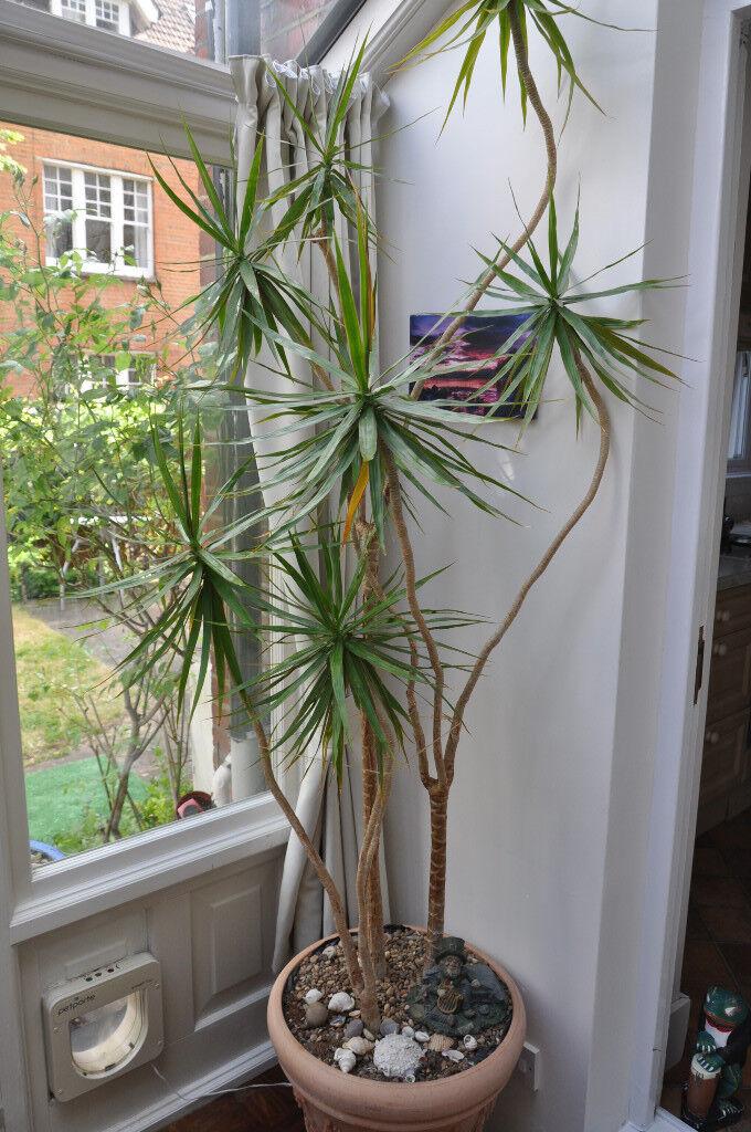 Dragon Tree Dracaena Marginata Plant For