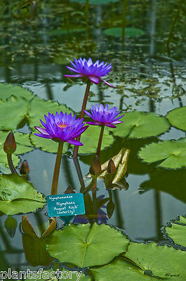 Nymphaea August Koch Sea Blue Tropical Water Lily Tuber Rhizome (Buy Water Lily)