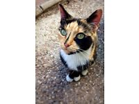 Missing tortoiseshell cat
