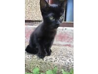 2 black kittens for sale £80 each
