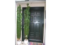 Cactus Plant 210cm Tall (Euphorbia Acruensis Cacti) Office plant