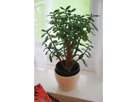 Jade house plant