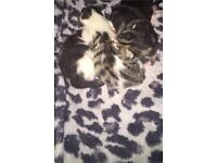 Gorgeous little bengal cross kittens