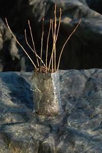 Poplar Seedlings & Bareroot Trees For Shelterbelts.  We Ship