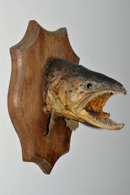 ANTIQUE TAXIDERMY FEROX TROUT FISH HEAD MOUNT