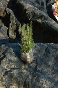 Tree Seedlings: Pine, Larch, Fir, Spruce -- MAY DELIVERY ONLY --13 types -- Reserve today.