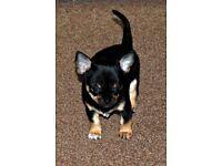 Stunning Tri-coloured Chihuahua Boy K.C. registered