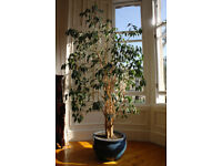 Weeping fig tree for sale.