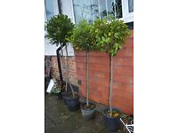 Bay trees for weddings or your garden