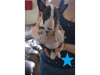 Gorgeous KC registered English Bull Terrier puppies