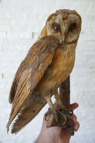 """Taxidermy Owl Premium """"BARN OWL"""" (Tyto alba) with PAPERS from 1970"""