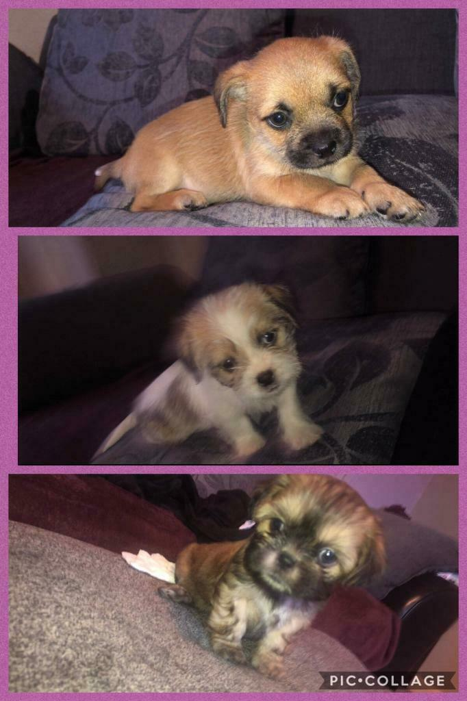 puppies for sale | in Radcliffe, Manchester | Gumtree
