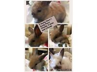 Baby Rabbits ready mid October