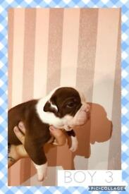 CHOCOLATE OLD TYME BULLDOG PUPPIES