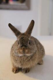 Mini lop X mini Rex bunny Forsale