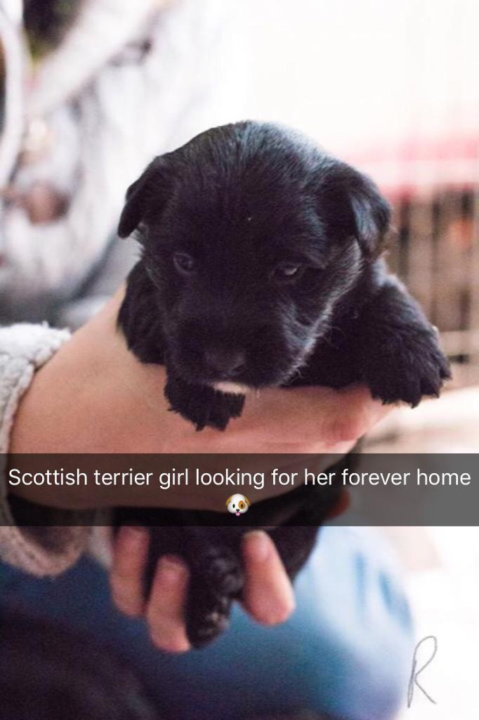 Stunning Scottish terriers puppies