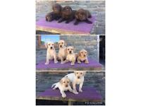 Yellow & chocolate pedigree Labrador puppies