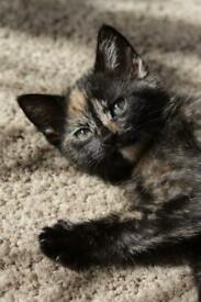 Two beautiful female kittens for sale