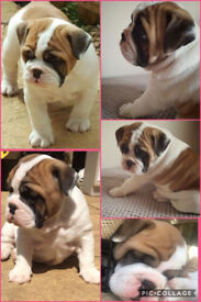 British Bulldog Bitch (9 weeks old ready to leave now)£2200 ovno