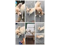 Charming pretty white and brown female chihuahua this beautiful girl is a true friendly and delight!