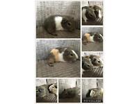 Georgous baby Guinea pigs