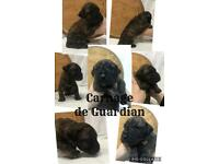 Presa Canario puppies from Presa Canario uk Guardian kennels