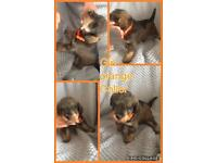 Schnoodle puppys 3 girls left