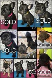 FRENCH BULLDOG PUPPIES FOR SALE🐶💕