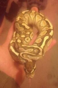 Ball pythons forsale
