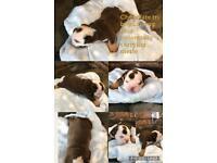 English Bulldog puppies rainbow litter of Merles
