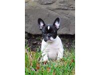 Stunning French bulldog pups from KC reg breeder